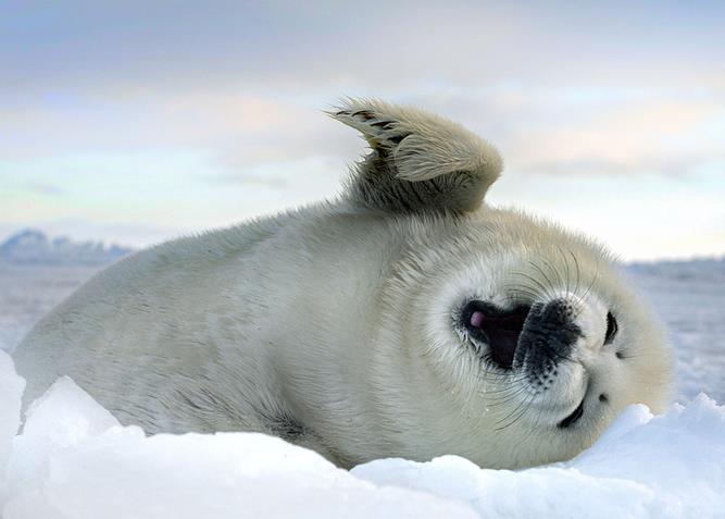 组图:捂嘴偷笑,雪地打滚 盘点海豹卖萌瞬间
