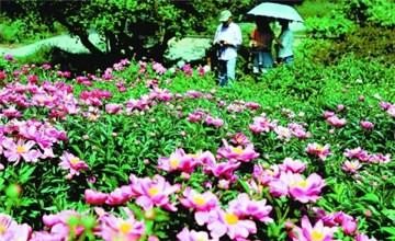 游客在北京植物园芍药园内观赏芍药花