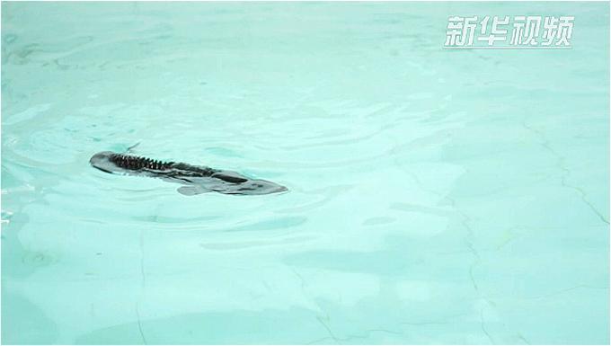中科院自動化所倣生機器魚團隊:潛心研究魚躍動作