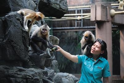 金絲猴吃粽子