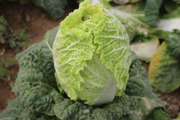 """30多种""""老口味""""蔬菜重回北京市场"""
