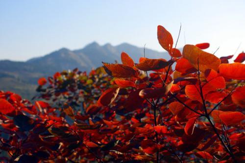 西山有紅葉