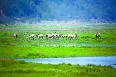 北京麋鹿野放鄱陽湖添新景