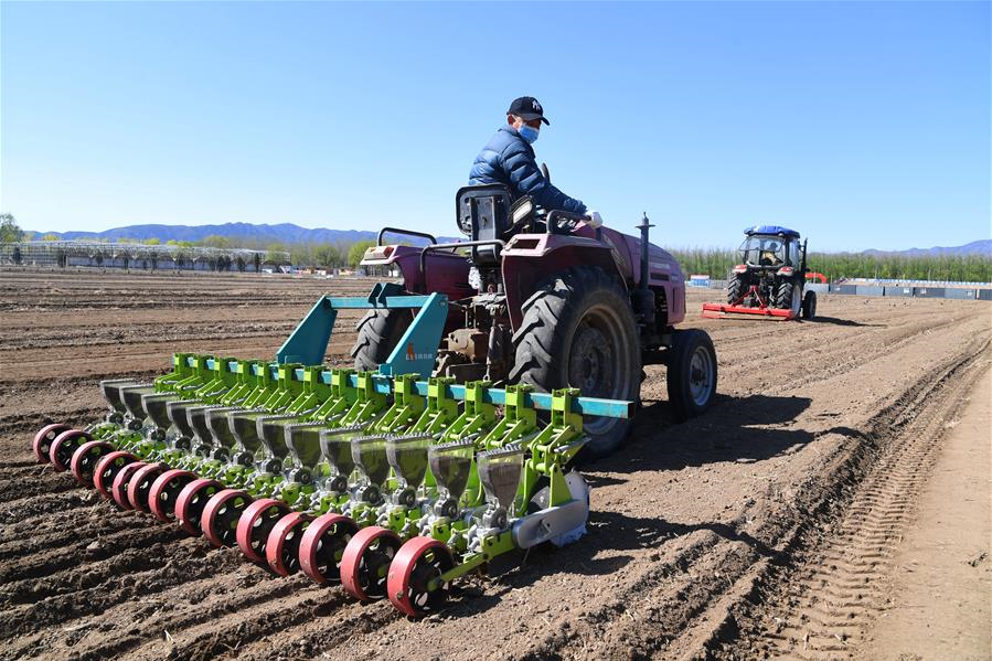 北京海淀百余畝油菜花田開始播種
