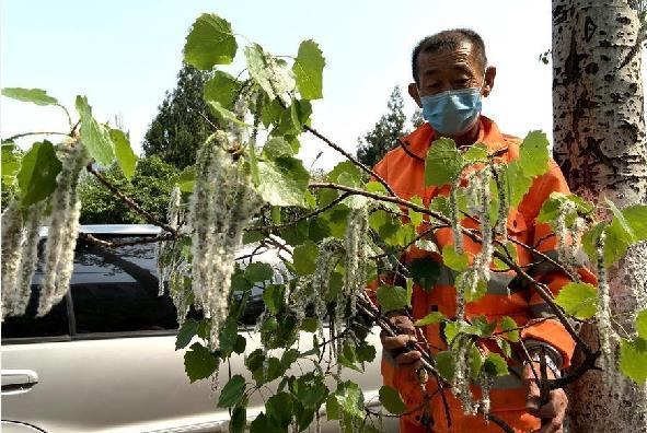 今春北京对42.6万杨柳雌株加大治理以减少飞絮