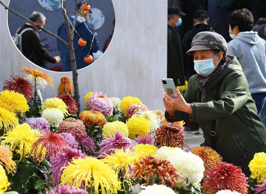 北京:菊花盛開迎客來