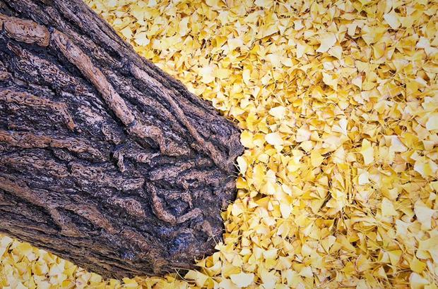 北京:雨打銀杏 定格這抹令人心動的金黃