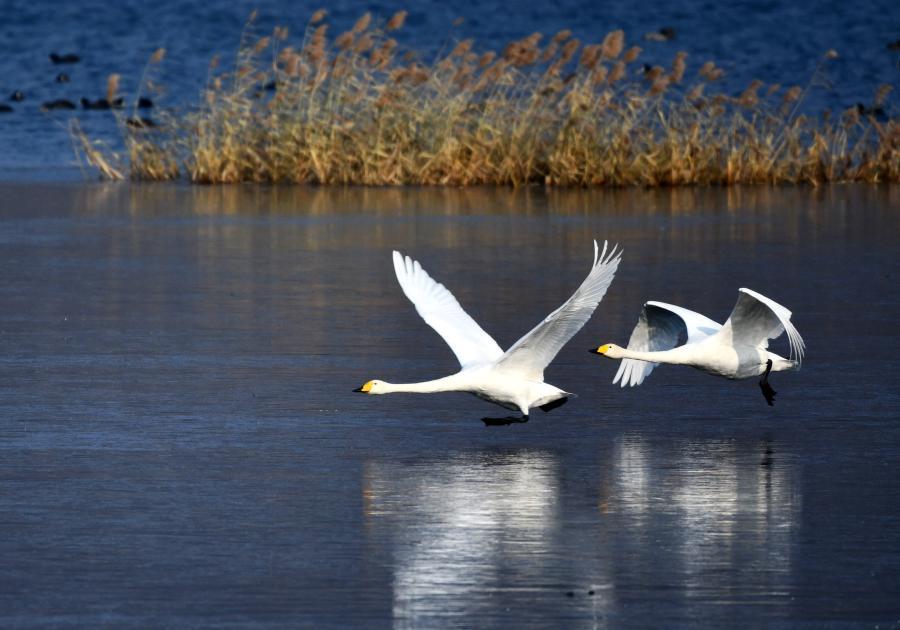 北京:天鵝舞動懷柔水庫